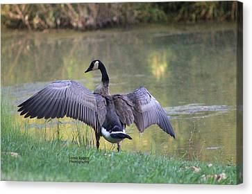 Canvas Print featuring the photograph Wing Span by Lorna Rogers Photography