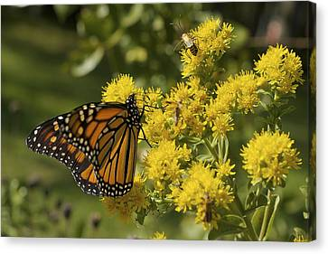 Wings - Monarch On Goldenrod Canvas Print
