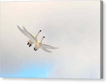 Flying Swan Canvas Print - Wings Of Angels by TL  Mair