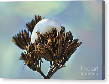 Winter Agave Bloom Canvas Print by Donna Greene