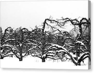 Winter Apple Orchard Canvas Print by Heather Allen