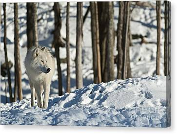 Canvas Print featuring the photograph Winter Arctic Wolf by Wolves Only