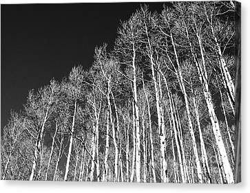 Canvas Print featuring the photograph Winter Aspens by Roselynne Broussard