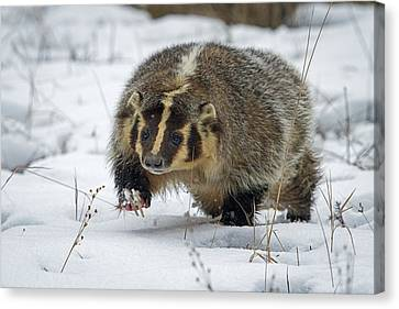 Canvas Print featuring the photograph Winter Badger by Jack Bell