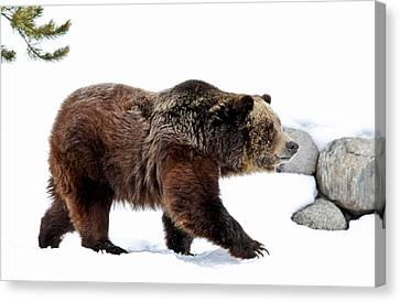 Winter Bear Walk Canvas Print by Athena Mckinzie