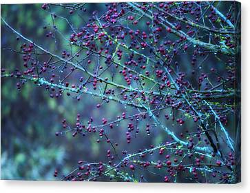 Winter Berries Canvas Print by Heather L Wright