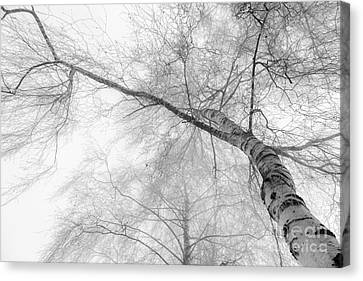 Winter Birch - Bw Canvas Print by Hannes Cmarits