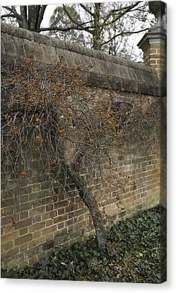 Winter Bittersweet In Williamsburg Canvas Print