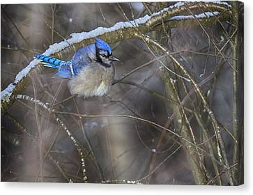 Winter Blue Jay Canvas Print by Gary Hall