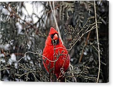 Winter Cardinal 03 Canvas Print by Thomas Woolworth