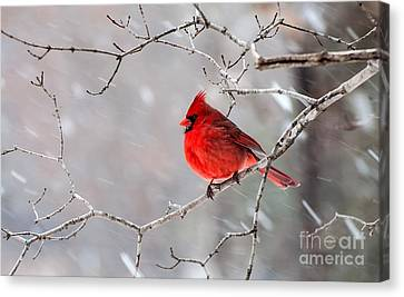 Winter Cardinal Canvas Print by Debbie Green