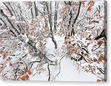 Winter European Beech Forest In Vosges Canvas Print by Heike Odermatt