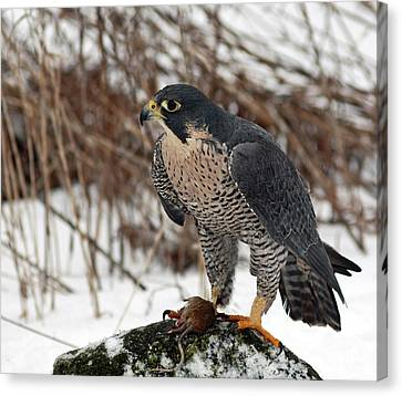 Shelley Myke Canvas Print - Winter Hunt Peregrine Falcon In The Snow by Inspired Nature Photography Fine Art Photography