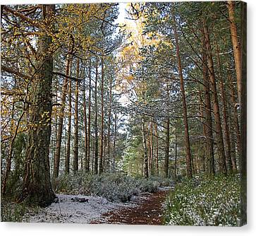 Winter In The Forest Near Aviemore Canvas Print