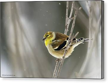 Winter Is Coming Golden Finch Canvas Print by LeeAnn McLaneGoetz McLaneGoetzStudioLLCcom