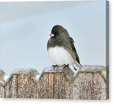 Winter Junco Canvas Print
