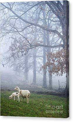 Winter Lambs And Ewe Foggy Day Canvas Print by Thomas R Fletcher
