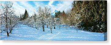 Winter Morning In The Pear Orchard Canvas Print