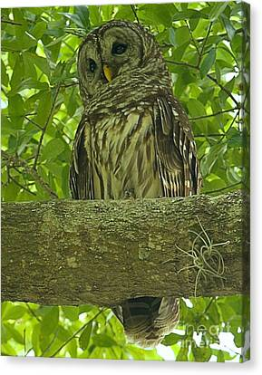 Winter Park Florida Owl Canvas Print by Adam Jewell