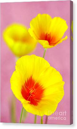 Winter Poppies Canvas Print by Douglas Taylor
