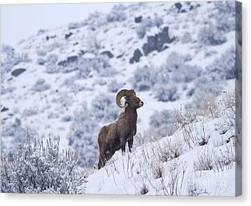 Winter Ram Canvas Print by Mike  Dawson