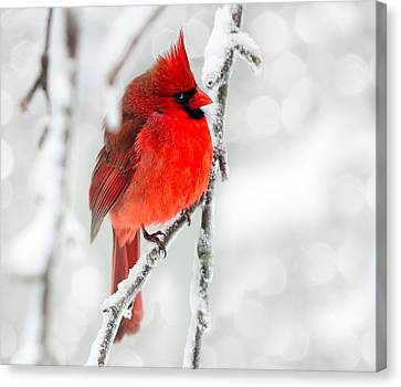 Canvas Print featuring the photograph Winter Red by Jaki Miller