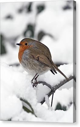 Winter Robin Canvas Print