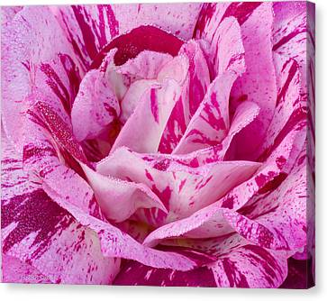 Canvas Print featuring the photograph Winter Rose  by Heidi Smith