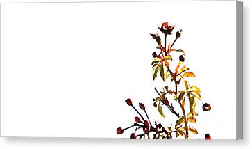 Winter Rose Canvas Print by Linda Shafer