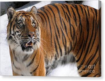 Winter Tiger Canvas Print by Dan Holm