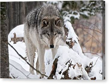 Canvas Print featuring the photograph Winter Timber Wolf by Wolves Only