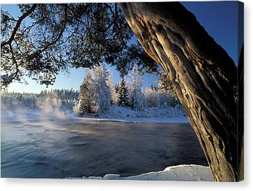 White Pines Canvas Print - Winter Trees River Sweden by Panoramic Images