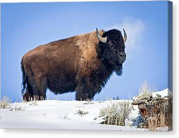 Canvas Print featuring the photograph Winter Warrior by Jack Bell