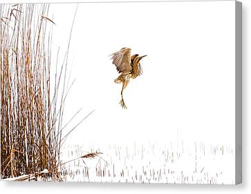 Winter Wonder Dance - Eursian Bittern In The Snow Canvas Print