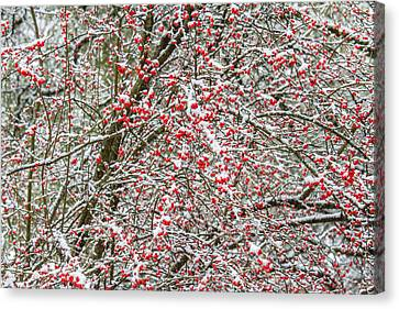 Winterberry During A Snowfall Canvas Print