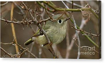 Wintering Ruby-crowned Kinglet Canvas Print