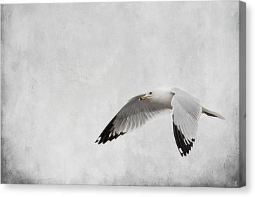Winter's Return - Wildlife - Seagull Canvas Print