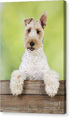 Fox Terrier Canvas Print - Wire Fox Terrier by John Daniels