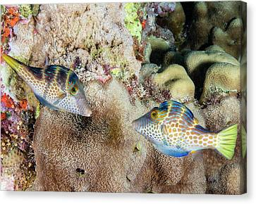 Wire-net Filefish Mating Display Canvas Print by Louise Murray