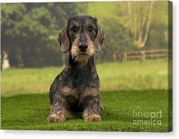Wirehaired Dachshund Canvas Print by Jean-Michel Labat
