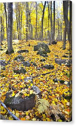 Wisconsin Sugar Maple Carpet Canvas Print by Ray Mathis