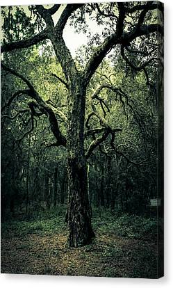 Wise Old Tree Canvas Print by Robin Lewis