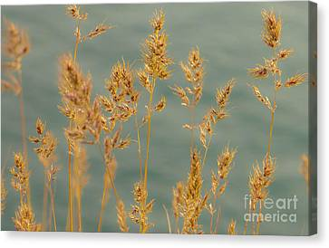 Wispy Grass Canvas Print by Sarah Crites