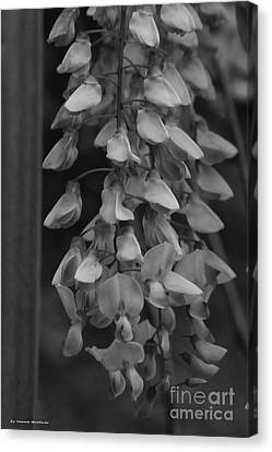Canvas Print - Wisteria Blooms Bw by Tannis  Baldwin