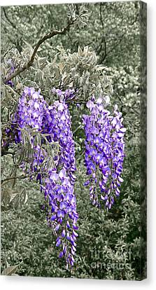 Wisteria Blossom Clusters Abstract Canvas Print by Byron Varvarigos
