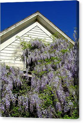Wisteria Cascading Canvas Print by Everett Bowers
