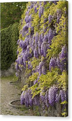 Canvas Print featuring the photograph Wisteria by Colleen Williams