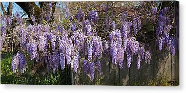 Sonoma County Canvas Print - Wisteria Flowers In Bloom, Sonoma by Panoramic Images