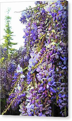 Canvas Print featuring the photograph Wisteria - Fun Version 2 by Jodie Marie Anne Richardson Traugott          aka jm-ART