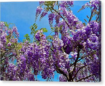 Wisteria In Bloom Canvas Print - Wisteria In Bloom by Denise Mazzocco